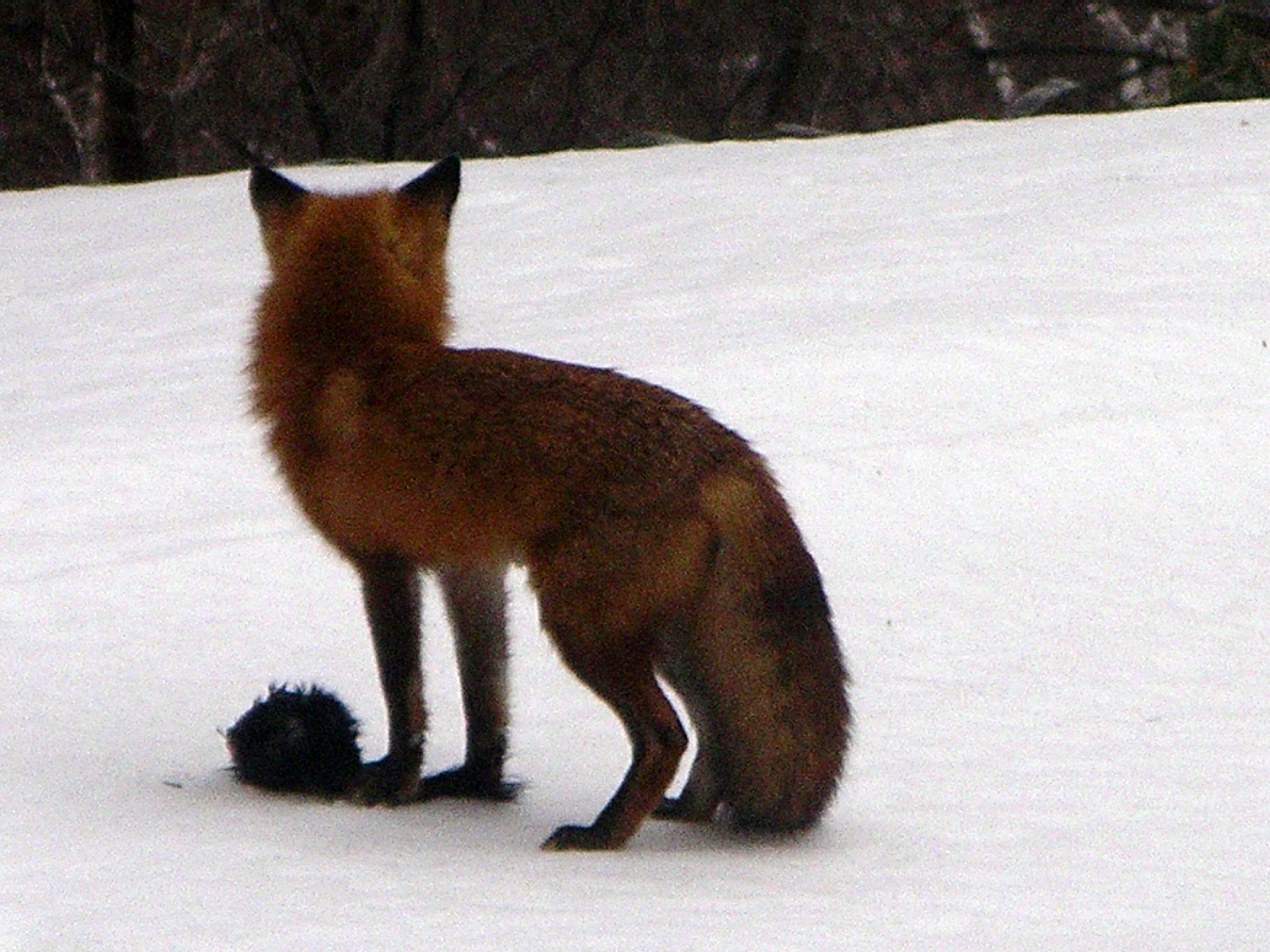 Fox from Ravine Bottom Lands